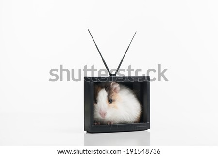 Funny hamster. Hamster sitting in  TV box. Isolated on white - stock photo
