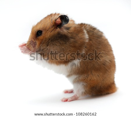 Funny hamster on white isolated background - stock photo