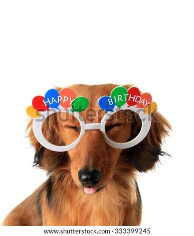 Funny Happy Birthday Dachshund Puppy Eyes Stock Photo