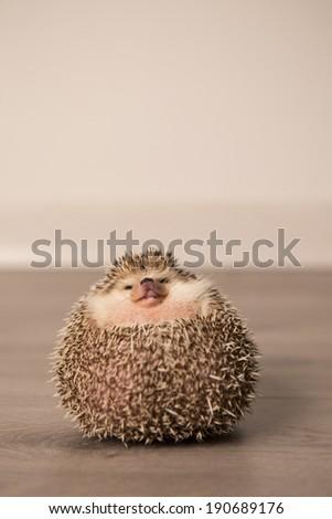 Funny hedgehog - stock photo