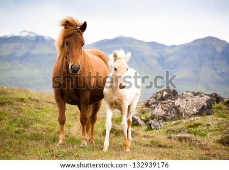 funny horses in the fields of Iceland - stock photo