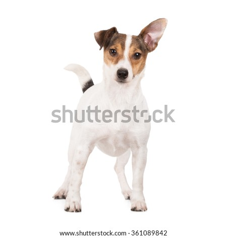 funny jack russell terrier dog - stock photo