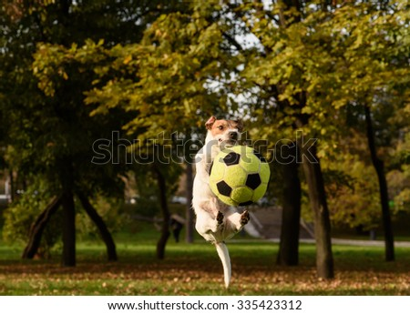 Funny jump with soccer ball. Jack Russell Terrier pet playing at fall park - stock photo