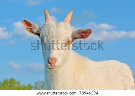 Funny kid goat grazing in field