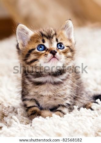 Funny kitten in carpet - stock photo