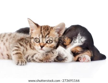 Funny kitten lying with sleeping basset hound puppy. isolated on white background - stock photo
