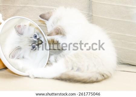 Funny kitten of siberian breed, neva masquerade version, at the mirror - stock photo