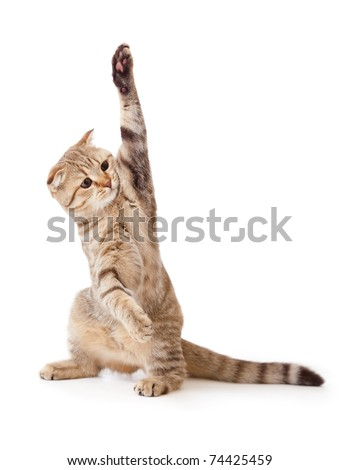 funny kitten pointing up by one paw. Good for any subject inserting between paws. See example in my port. - stock photo