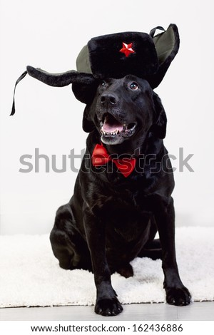 funny Labrador in a funny hat - stock photo
