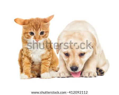 funny labrador puppy and kitten