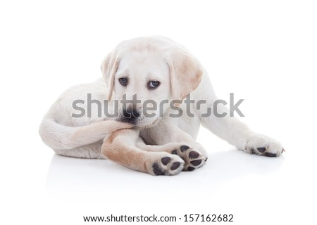 Funny Labrador retriever puppy chewing tail on white background