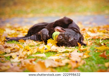 funny labrador retriever puppy rolling in fallen leaves - stock photo