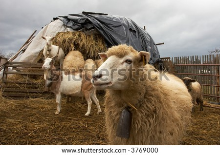 funny lamb with a bell - stock photo