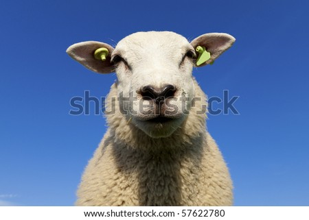 Funny lambs in summer looking at the camera - stock photo