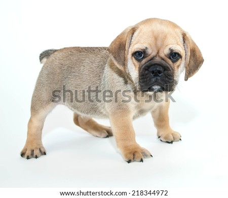 Funny little Beabull puppy that looks like he is mad about something on a white background. - stock photo