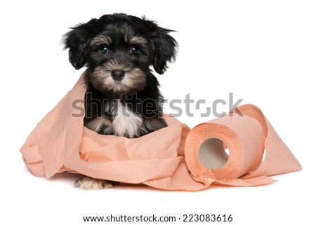 Funny little black and tan havanese puppy dog is playing with a roll of peach toilet paper and looking at camera, isolated on white background - stock photo