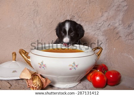 Funny little border collie puppy tempted to eat tomato soup - stock photo