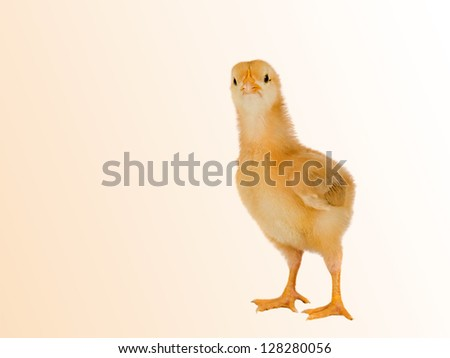Funny little chicken isolated on a over yellow background - stock photo