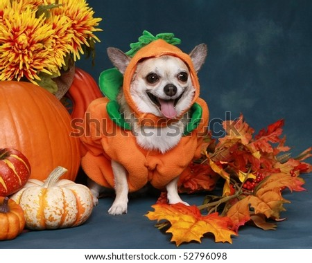 Funny little Chihuahua dressed up as a pumpkin for Halloween - stock photo