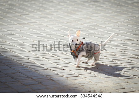 funny little dog Chihuahua dressed in autumn suit walks on a leash