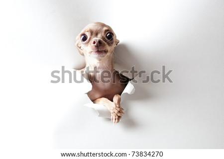 Funny little dog with big eyes on white - stock photo