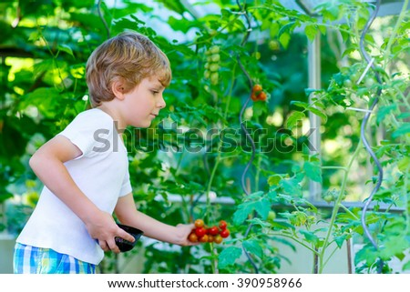 Funny little kid boy of 5 picking fresh ripe tomatoes vegetables  in greenhouse. Preschool child helping on sunny summer day. Family, garden, gardening, lifestyle - stock photo