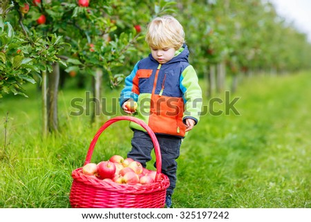 Funny little kid boy with big red basket picking and eating red apples in fruit orchard, outdoors. Child having fun with gardening and harvesting. Lifestyle, organic food, family concept. - stock photo