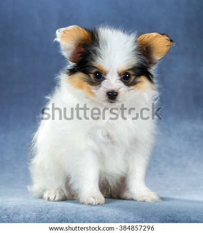 Funny little puppy Papillon sitting on a blue background - stock photo