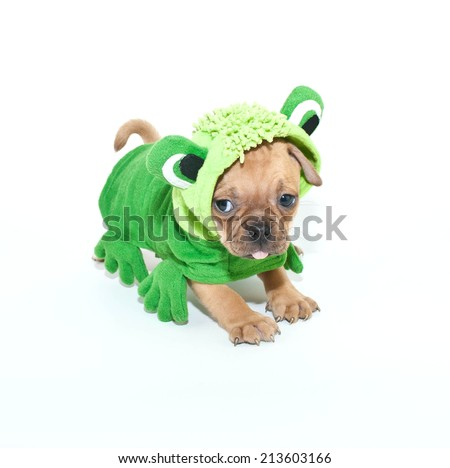 Funny little puppy wearing a from outfit sticking out his tongue on a white background.