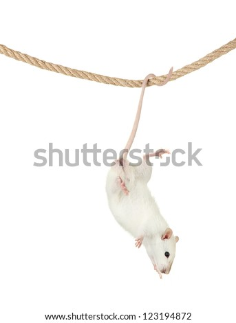 funny little rat on rope, isolated on white - stock photo