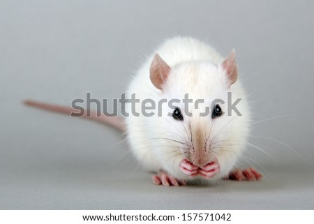 funny little rat with food, on grey background   - stock photo