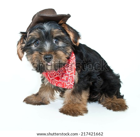 Funny little Yorkie puppy dressed up in a cowboy hat and hanky, sticking his tongue on a white background. - stock photo