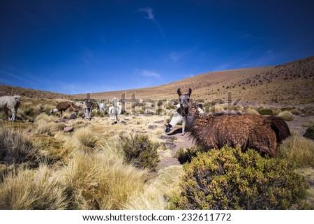 Funny Llama or Alpaca looking at the camera - stock photo
