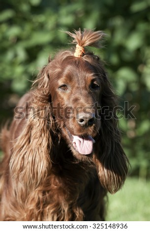 Funny long-haired dog with pigtail