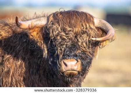 Funny looking asymmetrical horns on a Highland cattle calf in the Lauwersmeer National Park in the Netherlands - stock photo