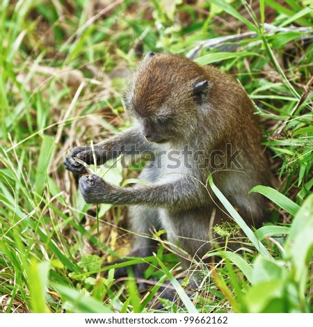 funny macaque monkey sitting and eating grass