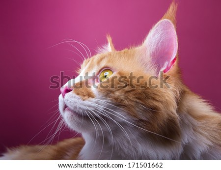 Funny main coon cat is isolated on a pink background. - stock photo