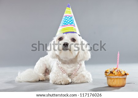 Funny maltese birthday dog with cake and hat. Studio shot. Grey background.
