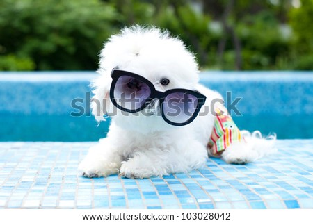 Funny maltese dog wearing sunglasses by the pool