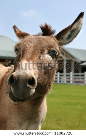 funny minature donkey - stock photo