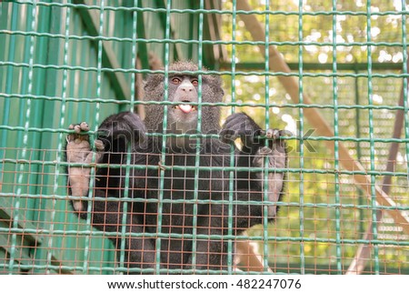Funny monkey in cage showing its tongue