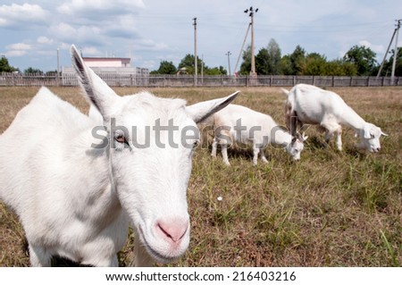 Funny mother goat with baby on pasture. - stock photo