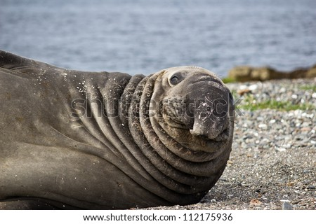 Funny Old Sea Elephant with wrinkled skin looking - stock photo