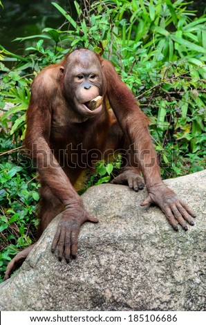 Funny  orangutan monkey posing with a tree in the mouth - stock photo