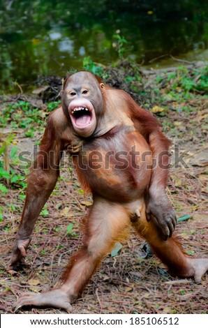 Funny  orangutan smile - monkey stay posing - stock photo