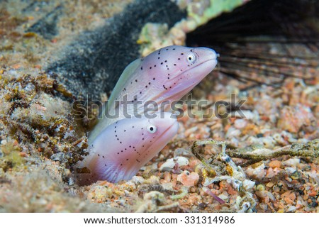 Funny peppercorn Moray Eels look out from a hard coral pinnacle. Close-up. Underwater photo. - stock photo