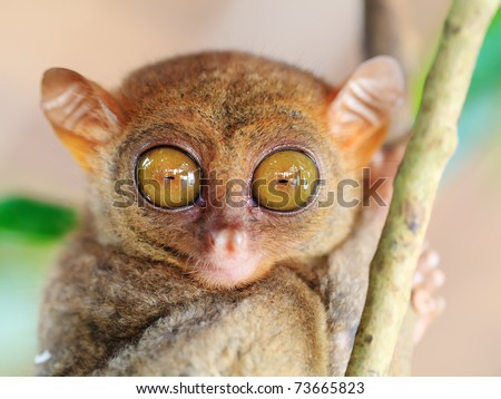 Funny Philippine tarsier (Tarsius syrichta). Bohol. Philippines - stock photo