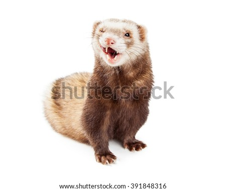 Funny photo of a cute little ferret on white background with one eye closed and tongue out to lick chops - stock photo