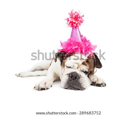 Funny photo of a tired Bulldog breed dog laying down and sleeping while wearing a fancy pink birthday hat