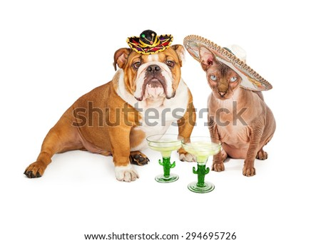 Funny photo of an American Bulldog breed dog and a hairless cat wearing sombreros with margaritas celebrating Cinco De Mayo - stock photo
